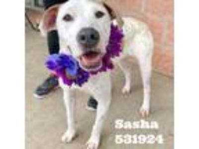 Adopt Sasha a White - with Tan, Yellow or Fawn Pointer dog in San Antonio
