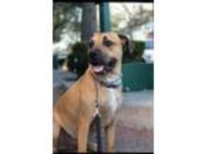 Adopt Neville a Tan/Yellow/Fawn - with Black Boxer / Rhodesian Ridgeback dog in