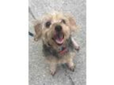 Adopt Shay a Tan/Yellow/Fawn Shih Tzu / Mixed dog in New Orleans, LA (25338971)