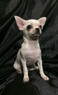 Chihuahua PUPPY FOR SALE ADN-100853 - White chihuahua 1 year old fully trained