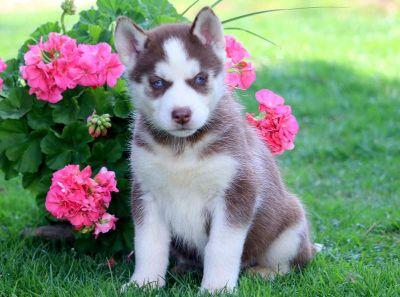 Siberian Husky PUPPY FOR SALE ADN-79253 - Siberian Husky Puppy For Sale