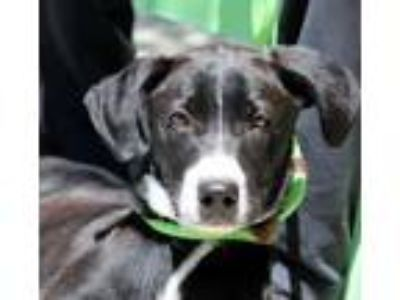 Adopt Luca B a Border Collie, Labrador Retriever