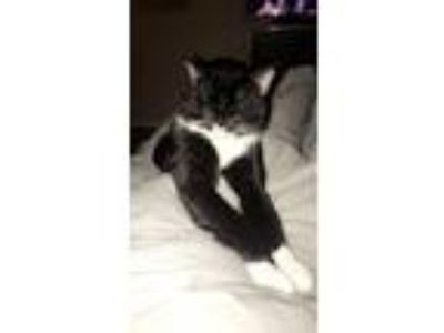 Adopt Uzi a Black & White or Tuxedo American Shorthair / Mixed cat in Middlesex