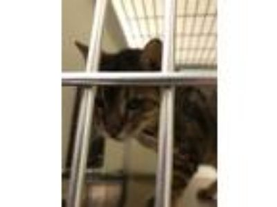 Adopt Benny a Brown or Chocolate Bengal / Domestic Shorthair / Mixed cat in