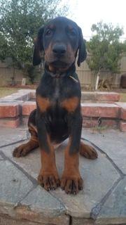 Doberman Pinscher PUPPY FOR SALE ADN-90943 - Quality Doberman Pinscher AKC puppies
