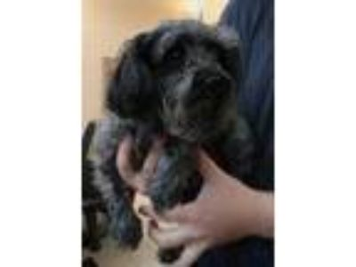 Adopt Midas a Black Schnauzer (Miniature) / Mixed dog in Carrollton