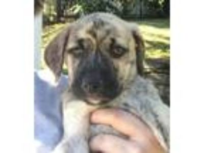 Adopt Baby Monocacy a Terrier