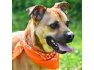 Adopt Antoine a Brown/Chocolate Shepherd (Unknown Type) / Boxer / Mixed dog in