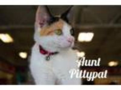 Adopt Aunt Pittypat a Domestic Short Hair, Calico