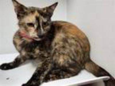Adopt Kittykitty a Domestic Short Hair