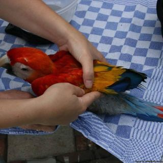 Great Talkers ,Scarlet macaws For Rehoming