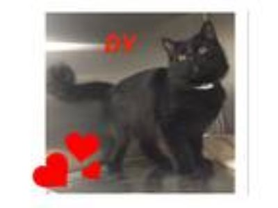 Adopt DY a Black (Mostly) Maine Coon (medium coat) cat in Harrisburg