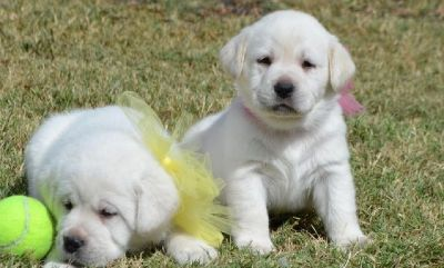 male and female Labrador retriever puppies for sale 662 xx 368 xx 8811