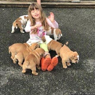 Good looking English bulldog puppies available