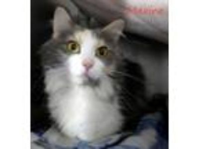 Adopt Maxine a Domestic Medium Hair, Domestic Short Hair