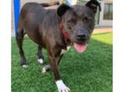 Adopt SOPHIA a Pit Bull Terrier, Mixed Breed