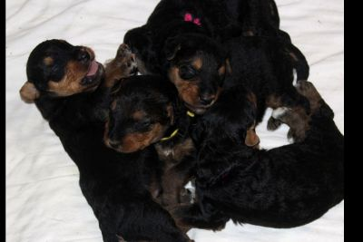 JOVAL Airedale Terrier Puppies - Now Accepting Reservations