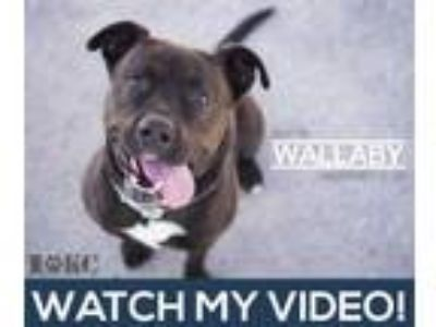 Adopt Wallaby a Black Labrador Retriever / Mixed dog in Mission, KS (22575816)