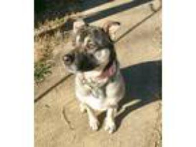 Adopt Cheyenne a Black - with Tan, Yellow or Fawn German Shepherd Dog / American