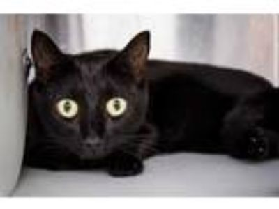 Adopt KITTY a All Black Domestic Shorthair / Mixed (short coat) cat in Orlando