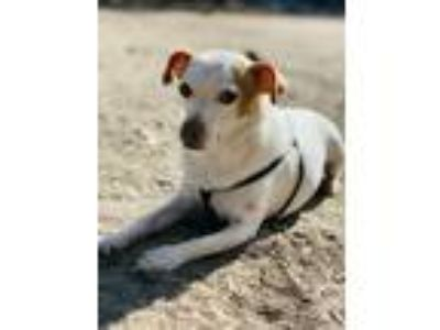 Adopt Robby a White - with Red, Golden, Orange or Chestnut Jack Russell Terrier