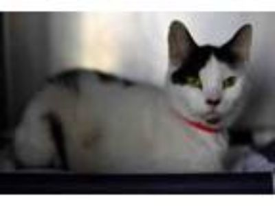 Adopt TOMMY a Domestic Short Hair