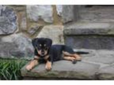 Adopt Piper a Black Hound (Unknown Type) / Mixed dog in Cumming, GA (25787464)