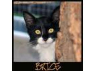 Adopt BRICE a Black & White or Tuxedo Domestic Mediumhair / Mixed (medium coat)