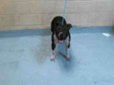 Adopt FREE a Black - with White American Pit Bull Terrier / Mixed dog in Tulsa