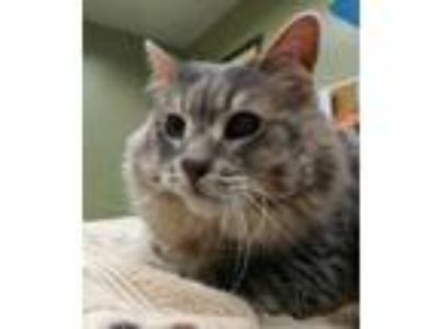Adopt Lammy a Gray or Blue Domestic Mediumhair / Domestic Shorthair / Mixed cat