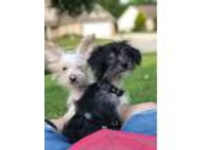 Adopt 2 POWDER PUFF PUPPIES a Chinese Crested Dog