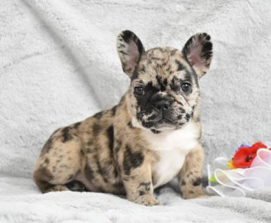 French Bulldog PUPPY FOR SALE ADN-96827 - Lovely French Bulldog Puppies Await Forever Homes