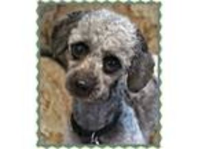Adopt Gabriel-Foster Home Needed a Poodle