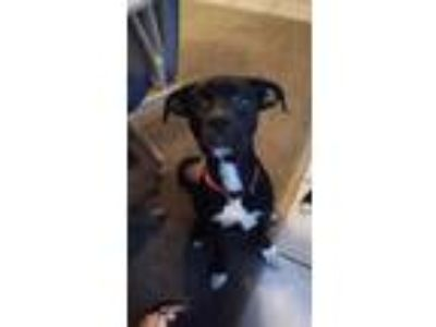 Adopt Diesel a Black - with White Labrador Retriever / Pit Bull Terrier / Mixed