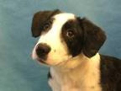 Adopt Cadi a Brindle Border Collie / Mixed dog in Coon Rapids, MN (25561687)