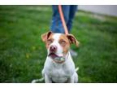 Adopt Fisher a Pit Bull Terrier