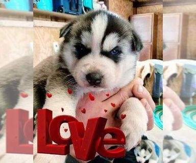 Siberian Husky PUPPY FOR SALE ADN-122088 - Circle C Huskies