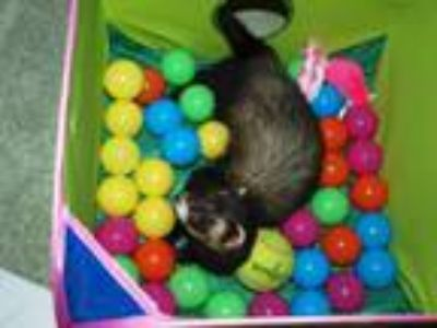 Adopt Baxter a Sable Ferret (short coat) small animal in Acworth, GA (25923450)