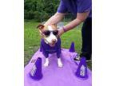 Adopt Cora a Tan/Yellow/Fawn Mixed Breed (Large) / Mixed dog in Worcester