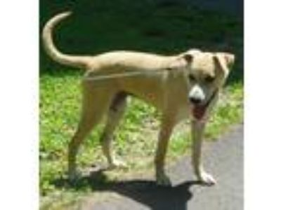 Adopt Sassy a Tan/Yellow/Fawn - with White Great Dane / Labrador Retriever /
