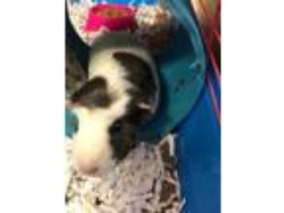 Adopt Guinea Pig 'Bugsy' a White Domestic Shorthair / Domestic Shorthair / Mixed