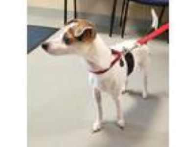 Adopt Blazer 909-19 a White Jack Russell Terrier / Mixed dog in Cumming