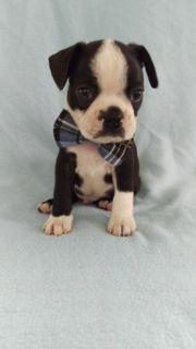 Boston Terrier PUPPY FOR SALE ADN-89543 - AKC Boston Terrier