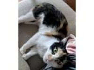 Adopt Delightful Darling a Calico or Dilute Calico Calico / Mixed (short coat)