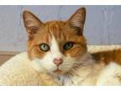 Adopt Daisy a Domestic Shorthair / Mixed (short coat) cat in Fort Myers