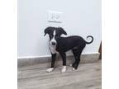 Adopt Zoe a Black - with White Border Collie / Jack Russell Terrier / Mixed dog