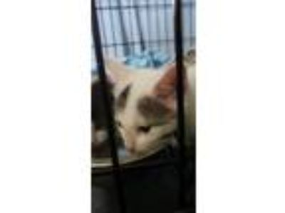 Adopt Mittens a White (Mostly) Domestic Shorthair (short coat) cat in Rochester