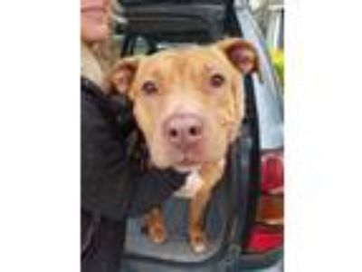 Adopt Ruby a Tan/Yellow/Fawn American Pit Bull Terrier / Mixed dog in Irmo