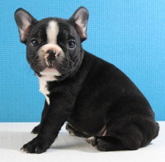 French Bulldog PUPPY FOR SALE ADN-87104 - AKC French Bulldog   WINSTON