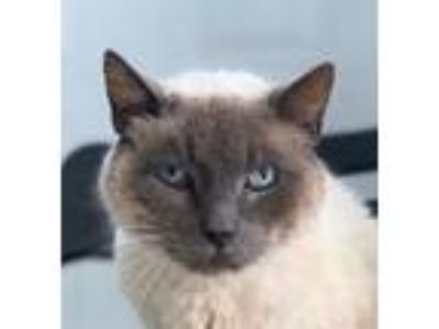 Adopt SMOKEY a Gray or Blue (Mostly) Siamese (short coat) cat in San Diego